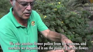 Polinización manual de la Uncarina con el Jardín Botánico Fuerteventura