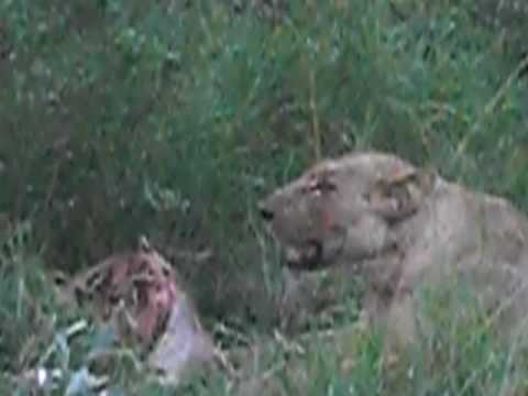 South Africa ~ Lion having a feast!
