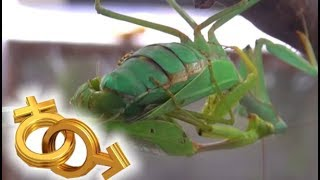 昆蟲媒人不好當~螳螂談愛心驚驚 / Praying Mantis Mating (Eng Sub)