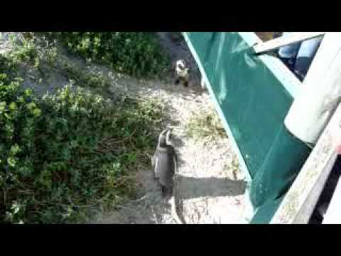 41. Cape Town: Boulders Beach Penguins (pt. 4)