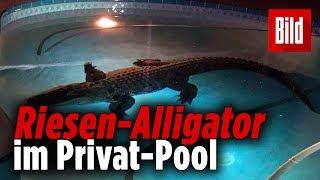 """""""Hilfe, da planscht ein Riesen-Krokodil im Pool"""""""