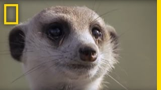 Learn all about meerkats with this video!