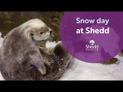 Otter Snow Day at Shedd