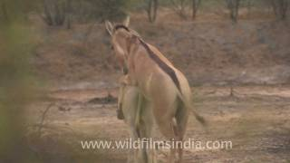 Indian wild Asses mating! width=