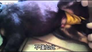 死變態 特製刑具虐幼犬 還反折生殖器--蘋果日報 20150112
