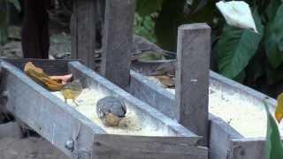 Comedouro coletivo, Fogo-apagou, rolinha-cascavel,