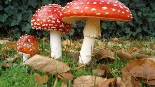 Cogumelo vermelho Alucinógeno e venenoso - Super Mario Bros