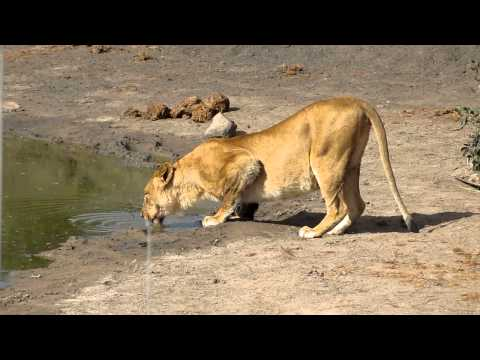 Singita Ebony Game Drive – Lions 1