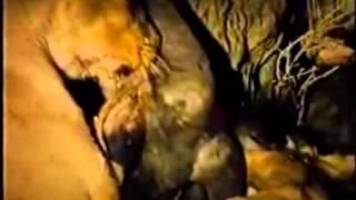 Leão do Deserto de Kalahari