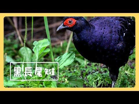 帝雉 - 公視《台灣特有種》微視界HD版 Episode#7