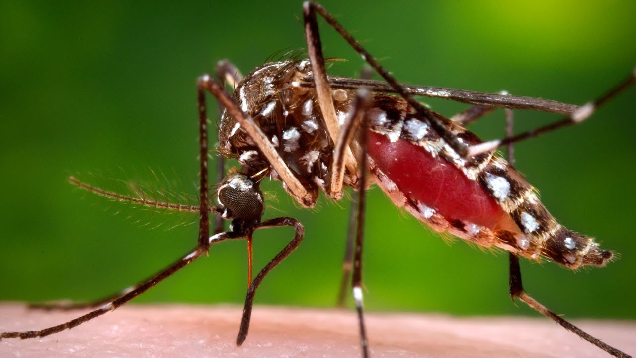 Could We Rid The World Of Mosquitoes?