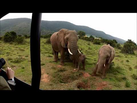 Elephants of the Shamwari, South Africa.