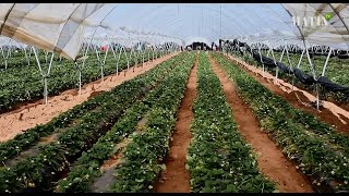 Agriculture : La filière des fruits rouges résiste à la crise