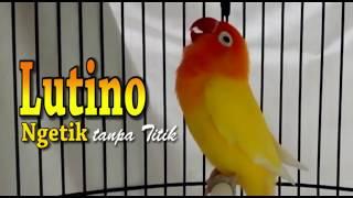 SUARA BURUNG : Pertarungan Love Bird Ngekek Panjang, Calon Juara Nasional width=