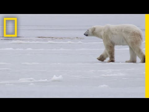 See How They Track Polar Bears in Russia | National Geographic