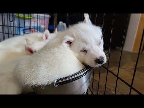 Husky Puppy Sleeps in Bowl