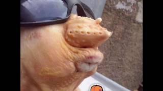 O frango de oculos