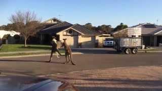 VIDEO. Bataie de strada intre... canguri