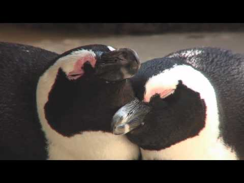 South Africa. Part12. Penguins