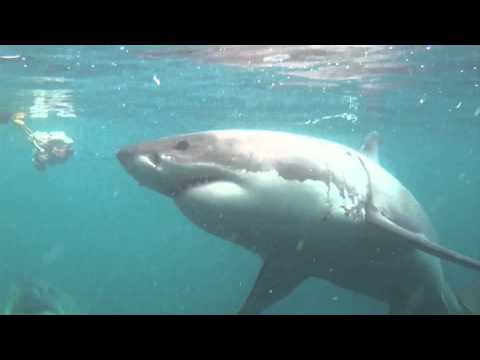 Shark Cage Diving South Africa – Diving with Great white Sharks in Gansbaai