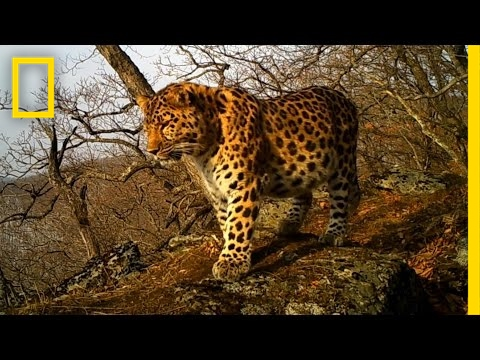 See One of the World's Rarest Big Cats | National Geographic