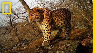 Watch baby Amur leopard cubs