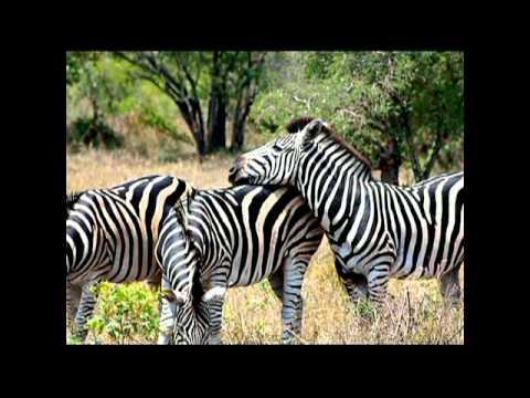 Travel – Mar 2010 – Zebras in Kruger National Park in So. Africa – Carl W. Farley