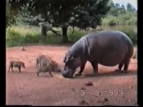 South Africa Hipopotam (1993)_0001.wmv