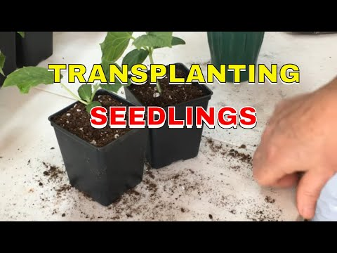 TRANSPLANTING FROM THE SEED TRAY (2019)