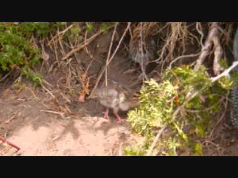 Baby Guinea Fowl (HD)