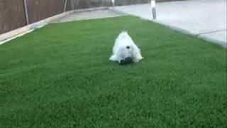 Ney cumple 2 años. Birthday's Ney. Maltese dog. Bichón Maltés