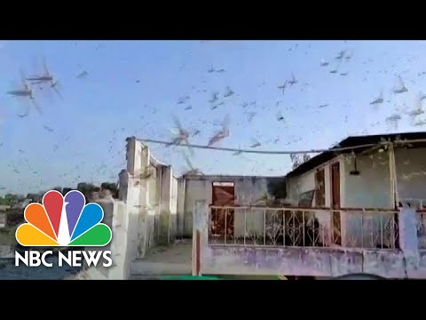 Watch: Swarms Of Locusts Fill The Skies Of Central And Northern India | NBC News
