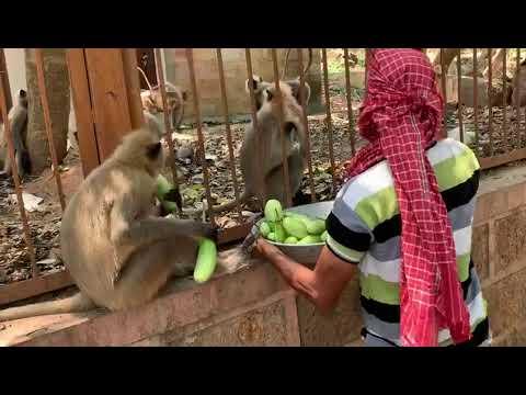500 monkey feeding in odisha