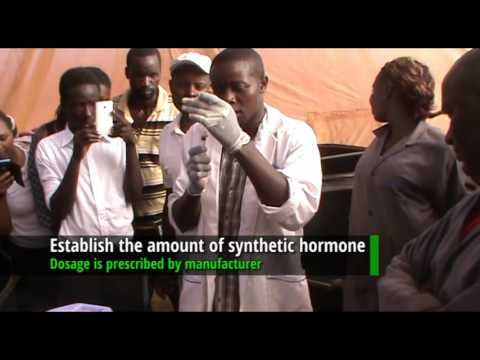 How to induce breeding in African Catfish using a synthetic hormone