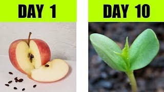 Apple Seed Germination Step By Step with Time Lapse