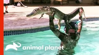 6ft Gator Battles Paul In Family Pool | Gator Boys width=
