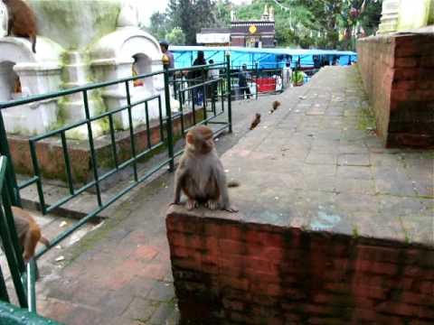 猴廟內的猴生百態