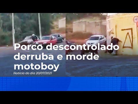 Porco descontrolado derruba e morde motoboy