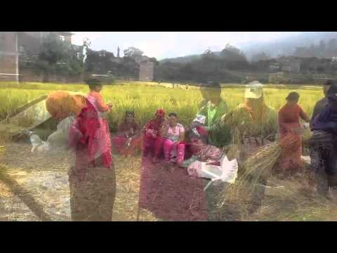 Harvesting, threshing and drying the rice in Nepal