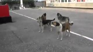 Patriotic Russian dogs sing Soviet Anthem