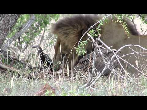 Lion on a kill with vultures 2012 735.MOV