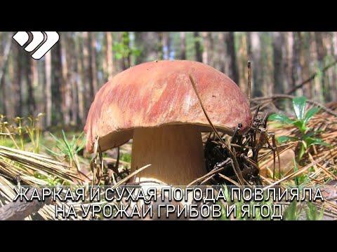 Жаркая и сухая погода сильно повлияла на урожай грибов и ягод в этом году
