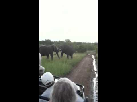 Sparring elephants in South Africa