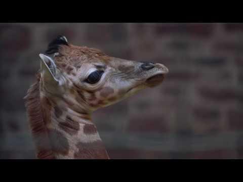 Rare giraffe calf born on Boxing Day at Chester Zoo