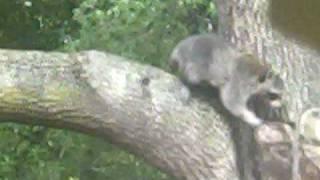"Raccoon ""Mapache"" en la casa  !!!!!!"