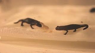 Baby Fire Belly Newts! Baby Slug Feeding width=