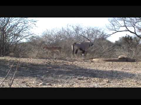 Randy Gemsbok – Diekie Muller Hunting Safaris Bow Hunting South Africa