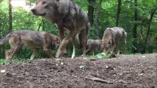 Save the red wolf walk for wolves