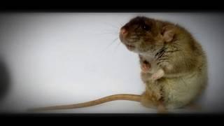 Mestre Chapeleiro - Eu Sou Um Rato