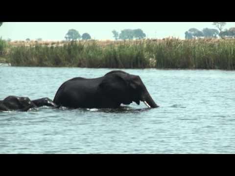 Manada de elefantes atravessando um rio